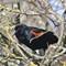 Red-Winged Blackbird 00