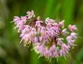 Wild Nodding Onion - Alluim cernuum