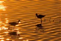 Wading Birds at Sunset