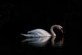 Mute Swan reflecting heart