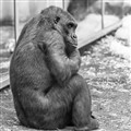 Depressed Gorilla