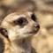 03 Meerkat