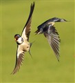 white throated swallow squable