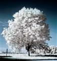 Der weisse Baum
