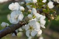 Pear Blossoms in the Spring