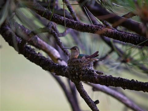 Baby Humming bird 50200 (1 of 1)