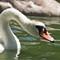iop Swan5