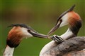 A great crested grebe feeding his little kid