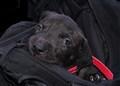 Bag puppy