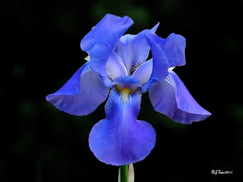 blue iris fantasy: faranya: Galleries: Digital Photography