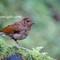 Juvenile Blue Robin 2