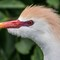 Mad Cow (Cattle Egret in breeding color): tight crop from 16MP shot at 318mm/660mm EFL original