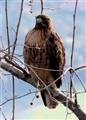 Howie, The Hawk