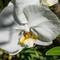 Winsor Court Orchid-