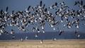 Geese in flight