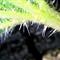 Common Stinging Nettle