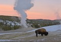 The Icons of Yellowstone - bison and Old Faithful