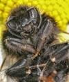 Dead Mining Bee