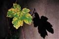 Sunbathing leaf
