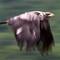 steve's panning eagle
