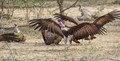 Kruger South AFrica --  hooded vulture touching down