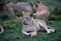 Lion in Masai Mara