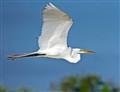 Great Egret Flight