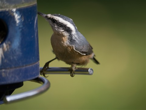 Red-breasted Nuthatch 100-300 demonstration