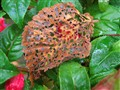 Fallen Leaf; Brown, Green & Red