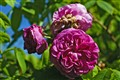 Ispahan Damask roses