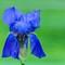 DSC08966 - Iris