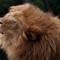 Lion at Wellington Zoo: