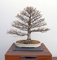 Bonsai European Beech
