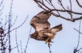 A ravenous hawk in January