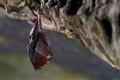 Lesser horseshoe bat (Rhinolophus hipposideros)