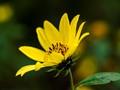 helianthemum