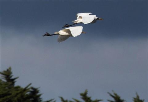 egret-P4233982-2