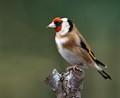 European Goldfinch in back garden