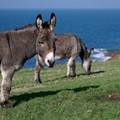 Donkeys in Normandy