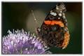 Moth on Sedum