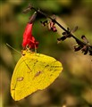 Cloudless Giant Sulphur