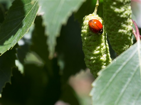 2012-05-17 Lady Bug 1