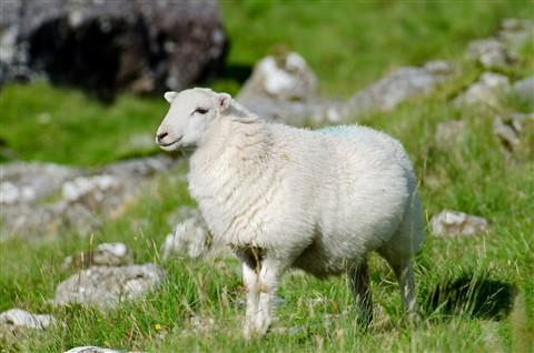 sheep002