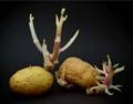 potato antlers
