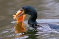 Cormorant with catch