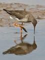 Redshank (Tringa totanus; probably juvenile) admiring his own reflection in the water.