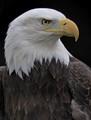 Eagle posing