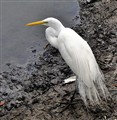 The heron and pollution