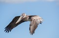 Pelecan in flight