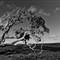 GUM TREE-13rr